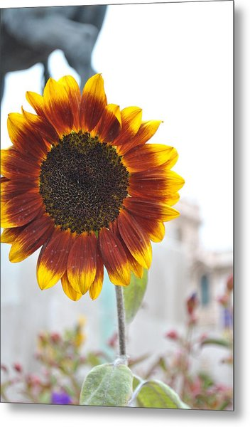 Sunflower In Balboa Park Metal Print by Misty Stach
