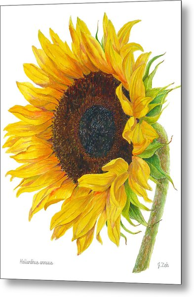 Sunflower - Helianthus Annuus Metal Print
