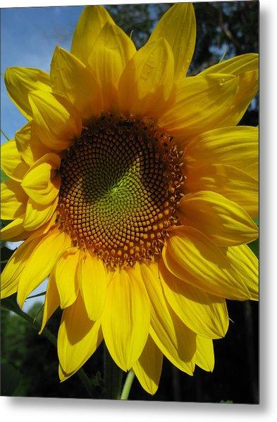 Sunflower  Metal Print by Laura Corebello