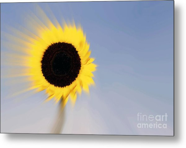 Sunflower Light Rays In The Wind  Metal Print