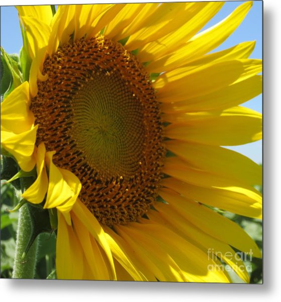 Sunflower Metal Print by Lne Kirkes