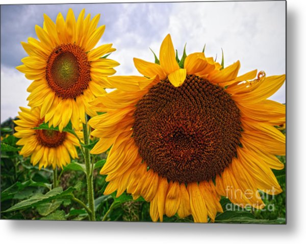 Sunflower Mama And Her Daughters  Metal Print