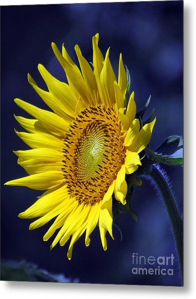 Sunflower On Blue Metal Print