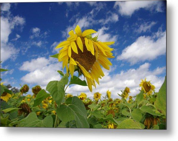 Sunflower Metal Print by Philip Derrico