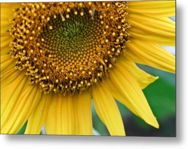 Sunflower Smiles Metal Print