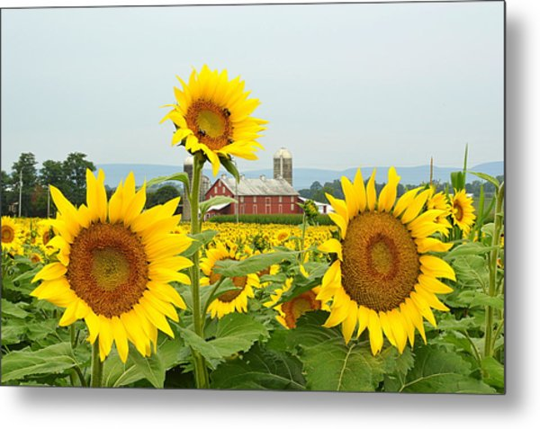 Sunflower Splendor #1 - Mifflinburg Pa Metal Print
