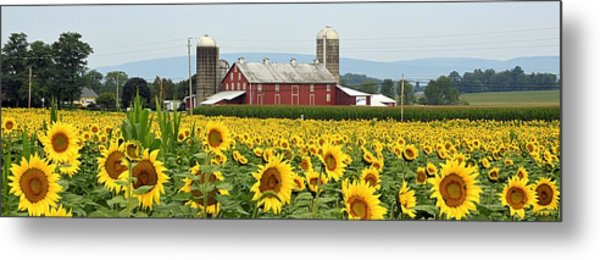 Sunflower Splendor Panorama #1 - Mifflinburg Pa Metal Print