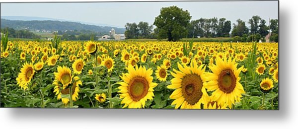 Sunflower Splendor Panorama #2 - Mifflinburg Pa Metal Print