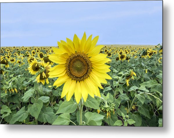 Sunflower Star Of The Show Metal Print