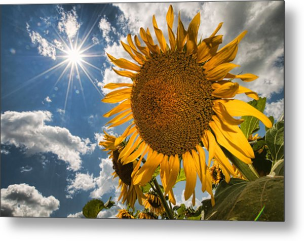 Sunflower Study 2 Metal Print by Mitchell Brown