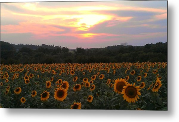 Sunflower Sunset Metal Print by Dawn Vagts