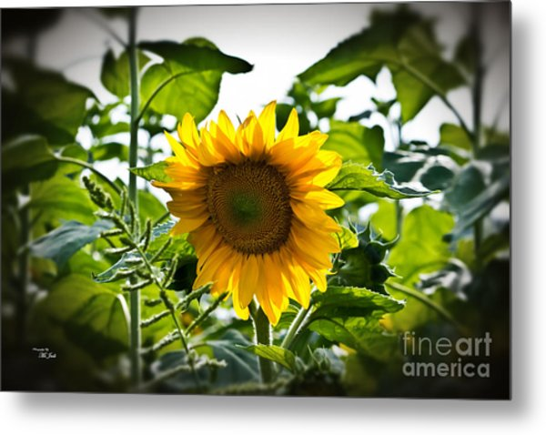 Sunflower Vignette Edges Metal Print