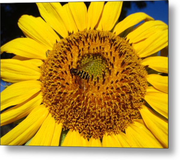 Sunflower Visitor Series 1 Metal Print