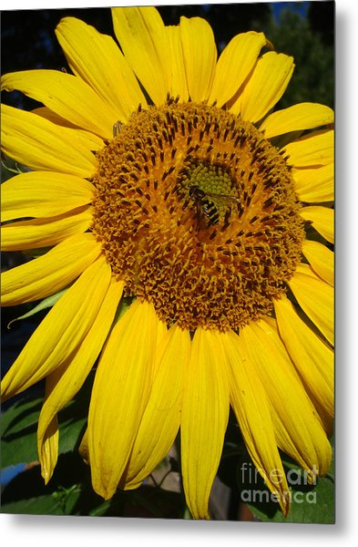 Sunflower Visitor Series 5 Metal Print