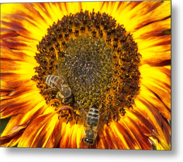 Sunflower With Bees Metal Print