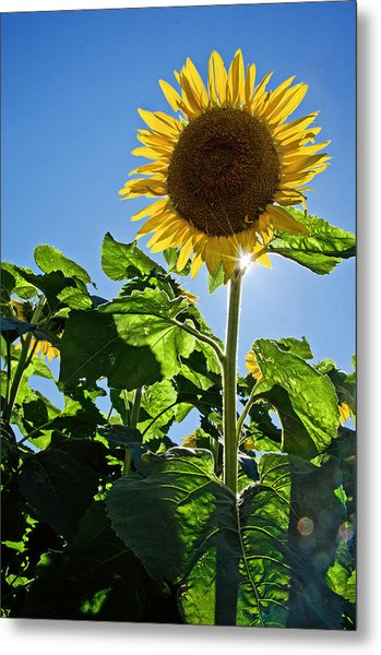 Sunflower With Sun Metal Print