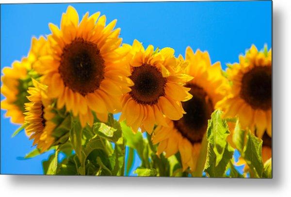 Sunflowers 3 Metal Print by Dasmin Niriella