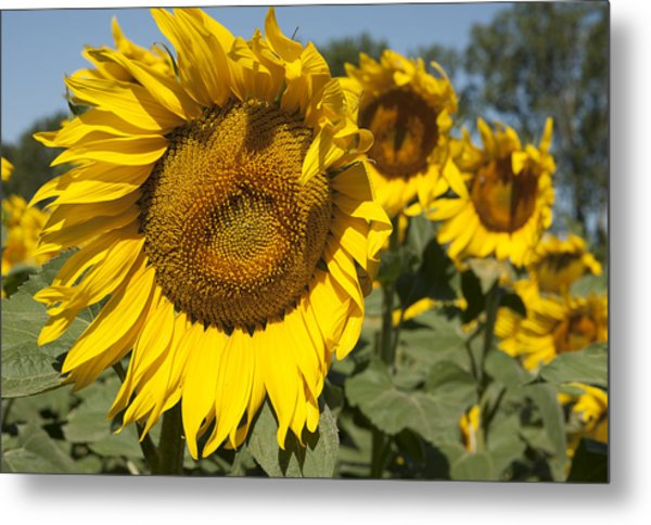 Sunflowers Aglow Metal Print