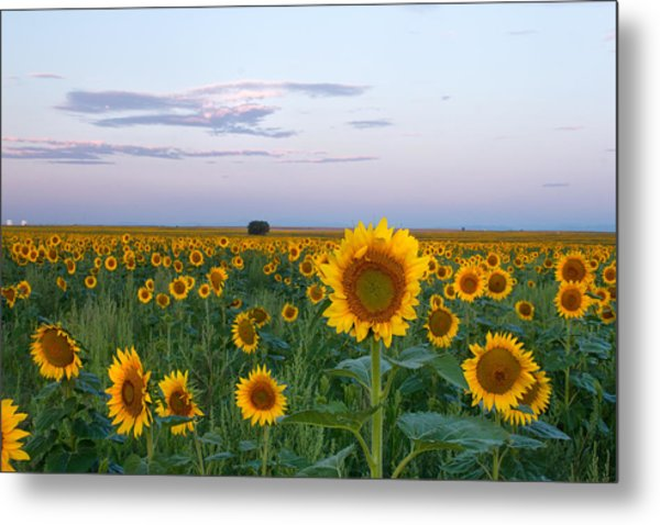 Sunflowers At Sunrise Metal Print