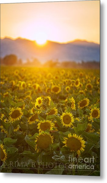 Sunflowers At Sunset Metal Print