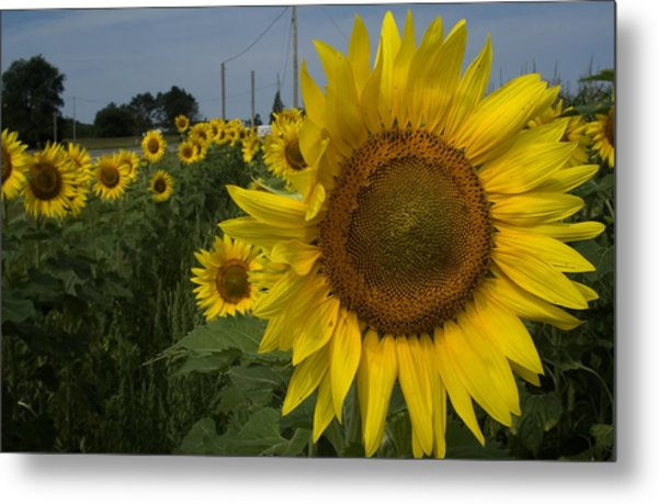 Sunflowers Metal Print by Diane Lent