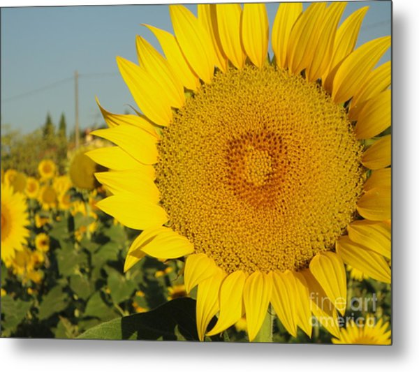 Sunflowers In Arezzo Metal Print