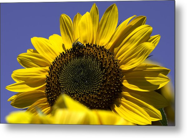 Sunflowers Metal Print by John Holloway