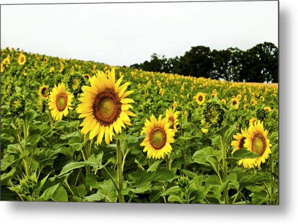 Sunflowers On A Hill Metal Print