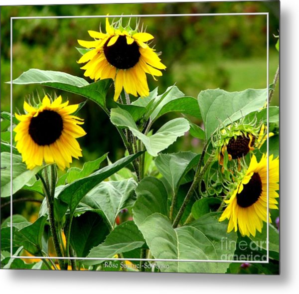 Metal Print featuring the photograph Sunflowers by Rose Santuci-Sofranko
