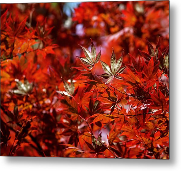 Sunlit Japanese Maple Metal Print