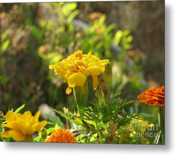 Sunny Marigold Metal Print