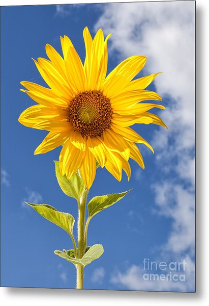 Sunny Sunflower Metal Print by Joshua Clark