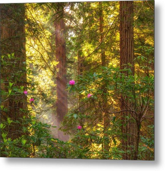 Sunrays Over Redwoods Metal Print