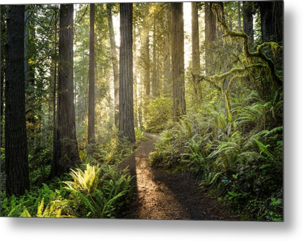 Sunrise In The Redwoods Metal Print by HadelProductions
