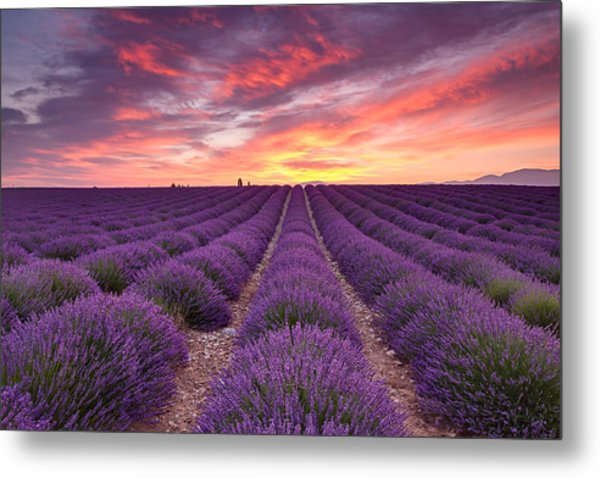 Sunrise Over Lavender Metal Print