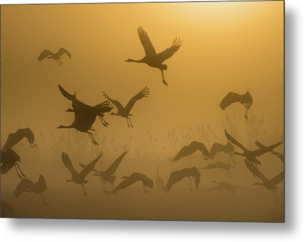 Sunrise With Cranes Metal Print
