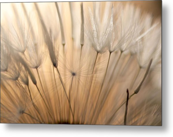 Sunset Seen Through A Dandelion Metal Print