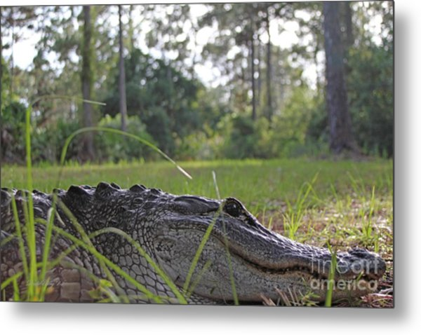Surprise Alligator Houseguest Metal Print