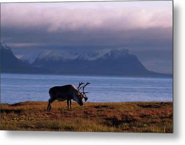 Svalbard Reindeer Grazing Near The Sea Metal Print