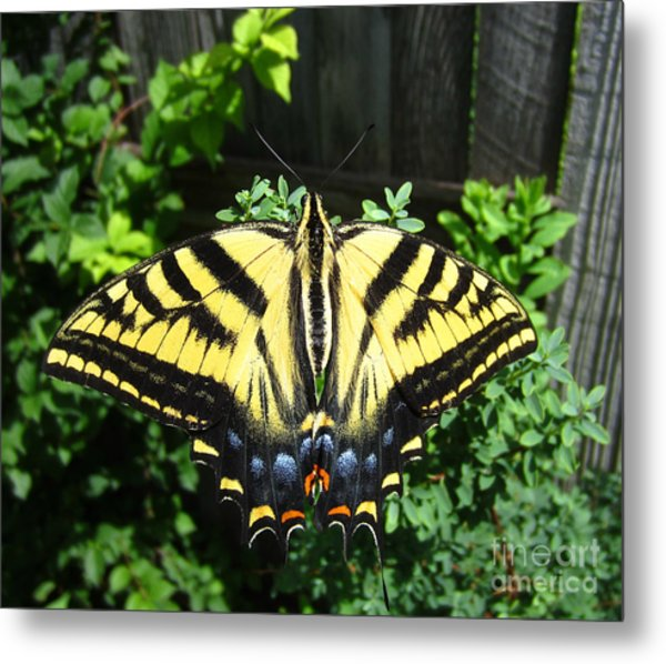 Swallowtail Butterfly Feeding Metal Print