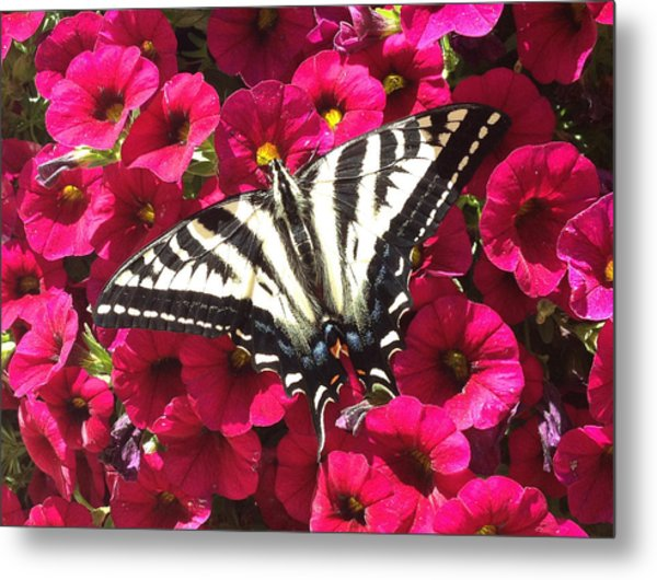 Swallowtail Butterfly Full Span On Fuchsia Flowers Metal Print