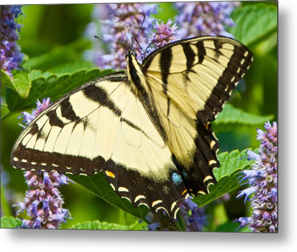 Swallowtail Butterfly On Anise Hyssop Metal Print
