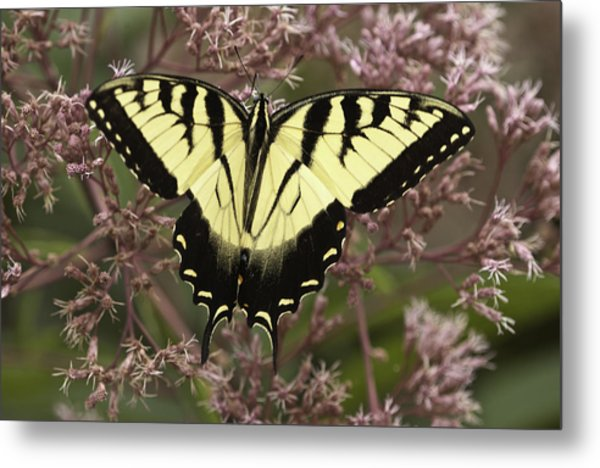 Swallowtail In Pink Metal Print