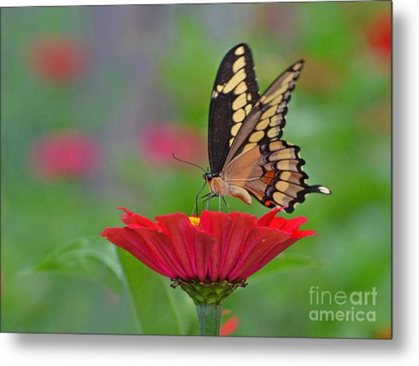 Swallowtail On A Zinnia Metal Print