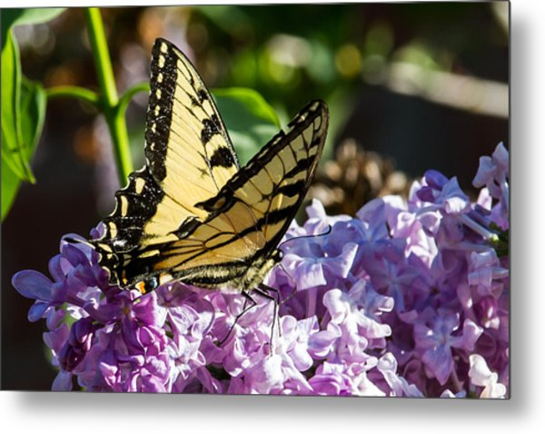 Swallowtail On Lilac Metal Print