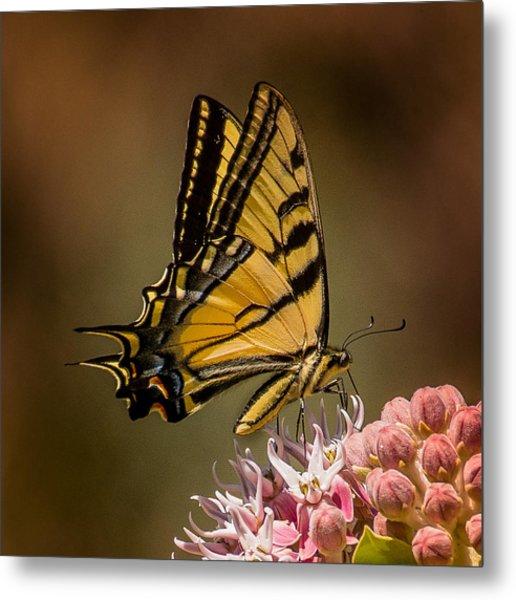 Swallowtail On Milkweed Metal Print