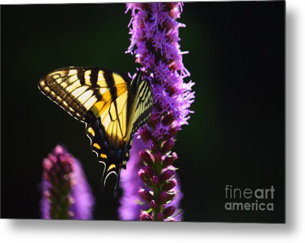 Swallowtail Tail Butterfly  Metal Print