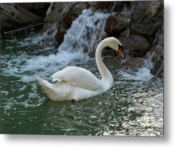 Swan A Swimming Metal Print