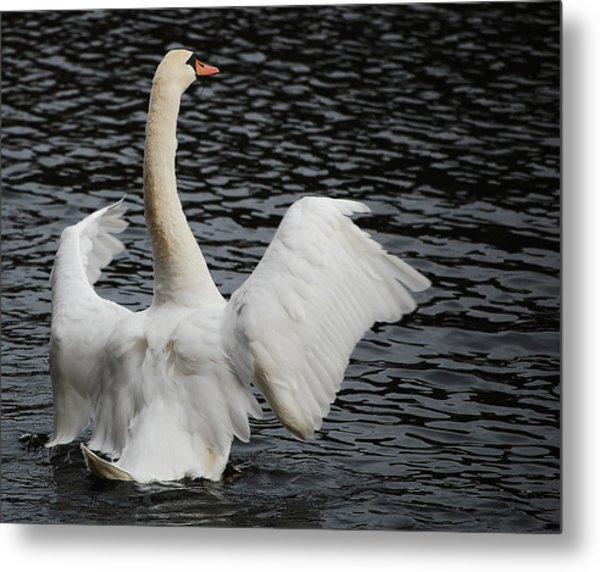 Swan Airing Out Wings 2 Metal Print