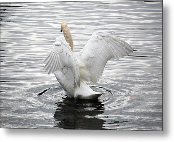 Swan Airing Out Wings 3 Metal Print